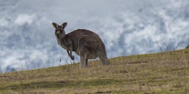 Irrer Amoklenker überfuhr 17 Kängurus