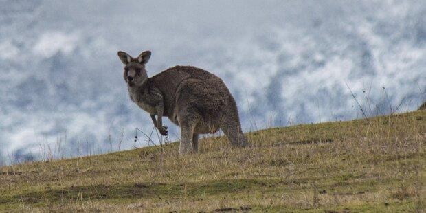 Ausgebüxtes Känguru springt durch Steiermark