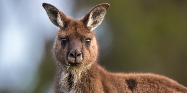 Känguru 'Pauli' aus privatem Gehege im Bezirk Scheibbs entwischt