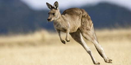 Polizei und Feuerwehr fangen Känguru