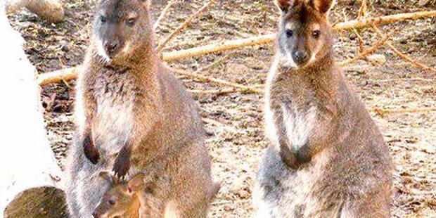 Ausgerissene Kängurus wieder da