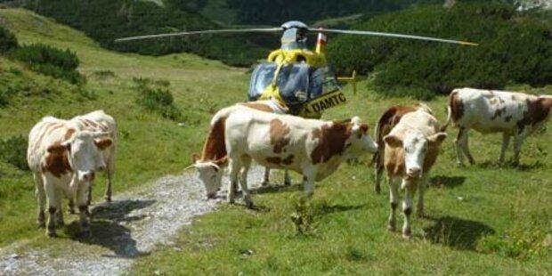 Wanderer von Kühen niedergetrampelt