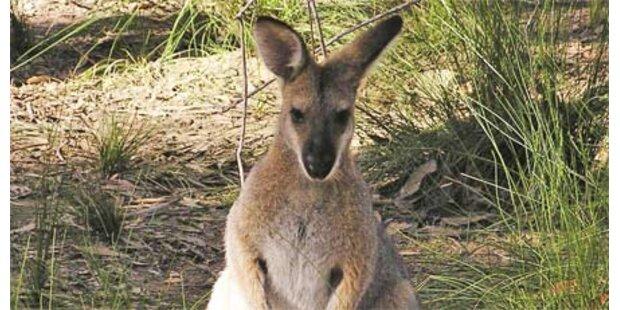 Känguru geht auf Menschen los