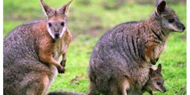 Pille für Australiens Känguruhs