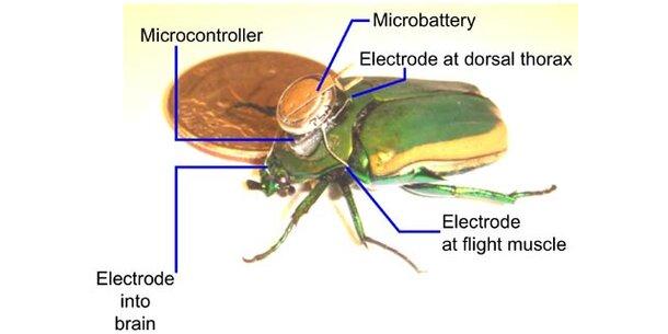 Käfer mit Mikrochip fliegt ferngesteuert