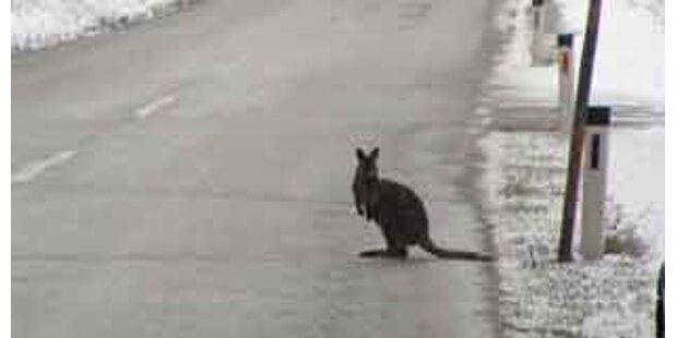 Entlaufenes Känguru überfahren