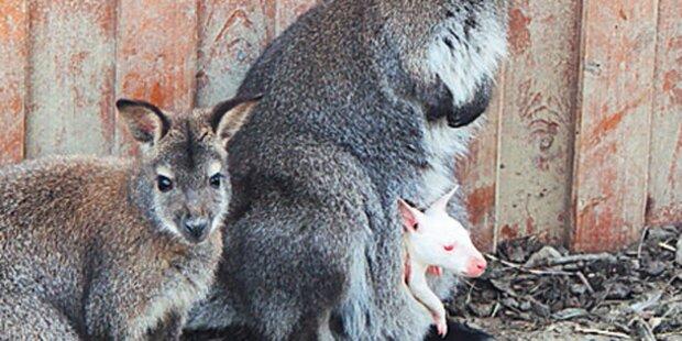 Weißes Känguru-Baby in Linzer Zoo geboren