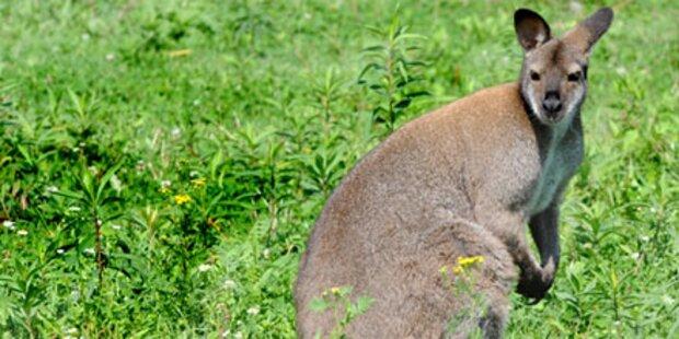 Innviertel: Autofahrer rammt Känguru