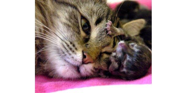 Katze mit zwei Gesichtern in Texas geboren