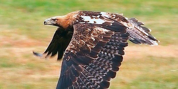 Jäger (56) erschoss Kaiseradler