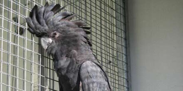 Kakadu muss vor Richter fliegen