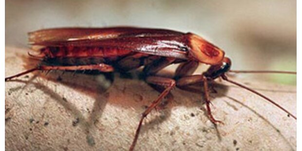 Kakerlake löst Säuberungsaktion in thailändischen Bussen aus