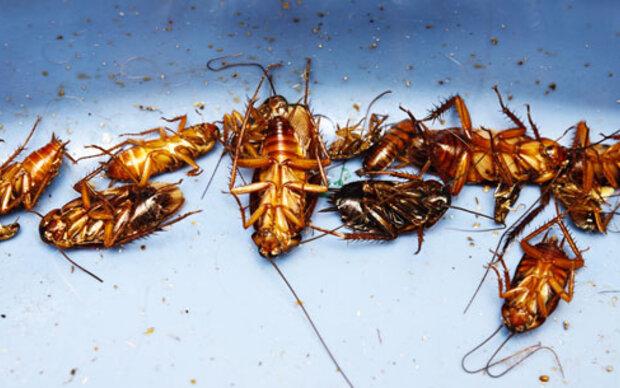 Kakerlaken sollen Abwehr stärken