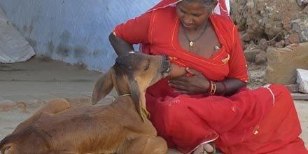 Wahre Tierliebe: Inderin stillt ihr Kalb