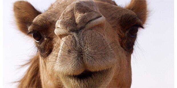 Mann wurde verhaftet, weil er Kamel verprügelte
