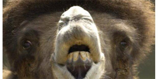 Killer-Kamel tötete zwei Menschen in der Türkei