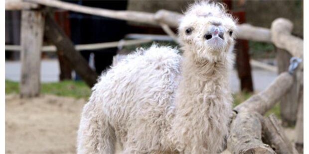 Erstes Klon-Kamel in Dubai geboren