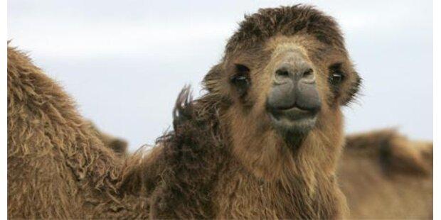 Kamele rülpsen zuviel