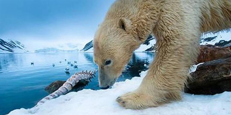 Heute öffnet Wiens neue Eisbärenwelt