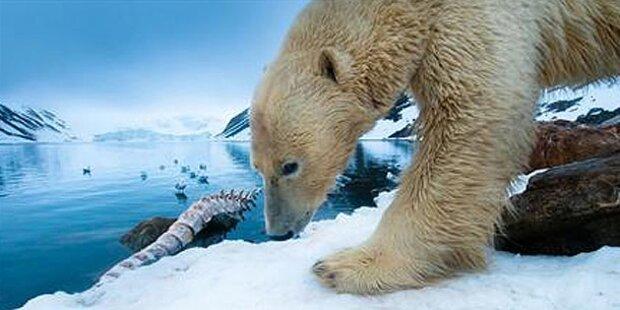 Wanderer von Eisbär lebensgefährlich verletzt