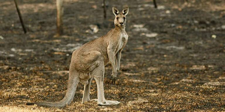 Känguru verprügelt Australierin
