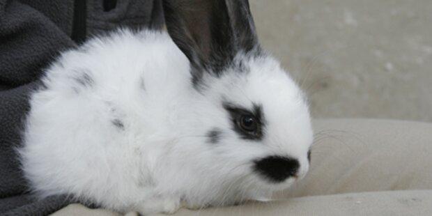 Gelsen lösen Kaninchenpest aus