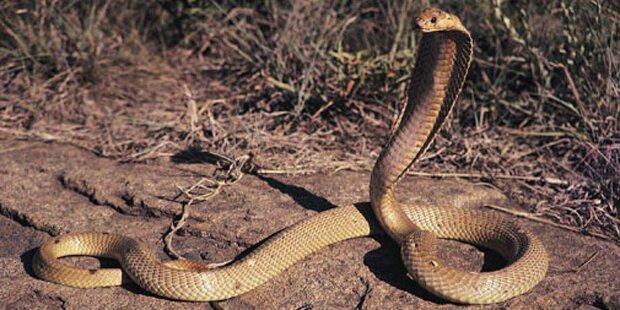 Giftige Kobra hält Kleinstadt in Atem