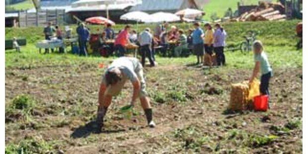 Im Urlaub Kartoffeln klauben