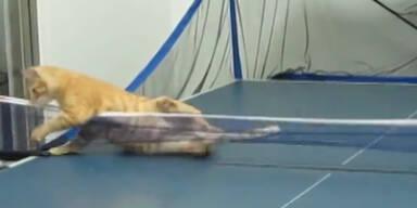 Putzig: Katze spielt Tischtennis wie Profi