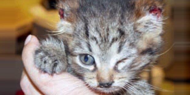 Tierhasser schnitt Katze beide Ohren ab