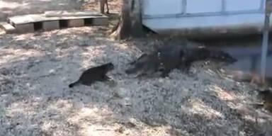 Katze Alligator