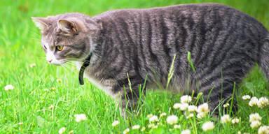 Tierquäler macht in NÖ Jagd auf Katzen