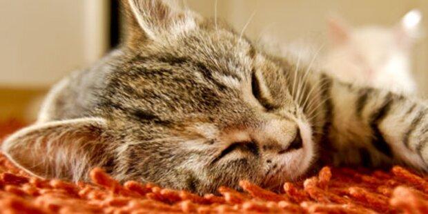 Katze schnurrt so laut wie ein Flugzeug