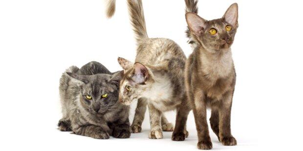 Tierquälerei? Anwältin hatte über 100 Katzen