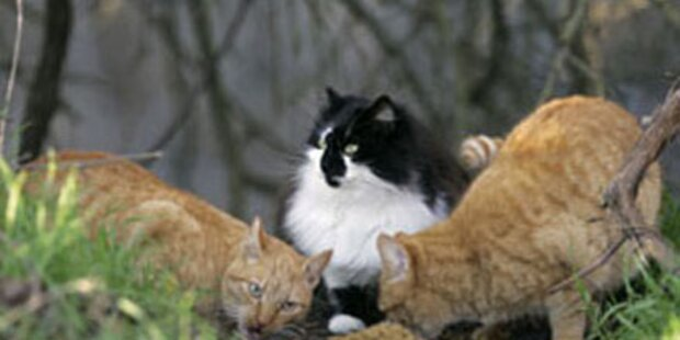 Katzenkiller am Campingplatz unterwegs