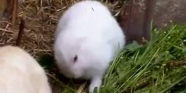 Fukushima: Ohrloses Kaninchen geboren