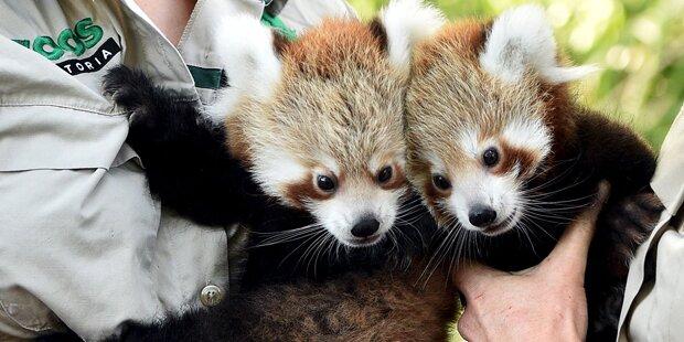 Seltene Panda-Zwillinge begeistern im Zoo