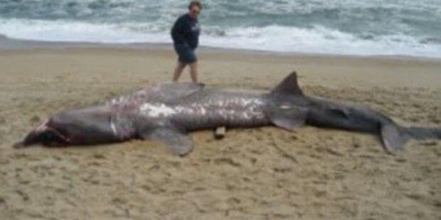 Killer-Hai von Betrunkenem getötet?
