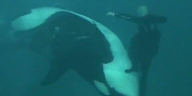 Killerwal greift seinen Trainer an