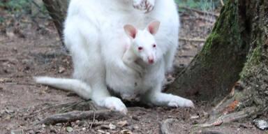Albino-Känguru-Baby womöglich aus Zoo in Kaiserslautern gestohlen