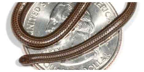 Forscher entdecken kleinste Schlange der Welt