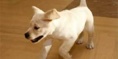 US-Paar bekommt kommerziell geklonten Hund