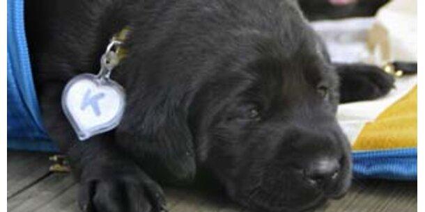 Dieser Klon-Hund soll Krebs erschnüffeln