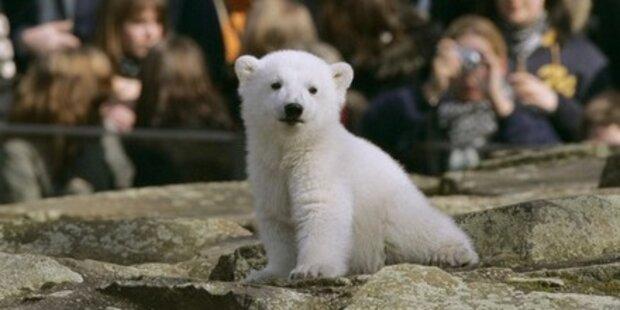 Trauer um Knut, den Eisbär