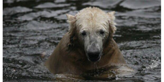 Verwirrter sprang zu Eisbär Knut ins Gehege