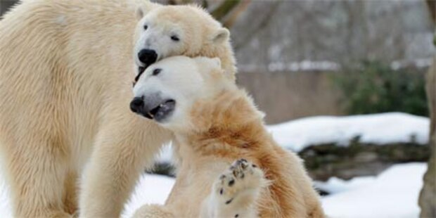 Knuts Freundin schlägt Kormoran tot