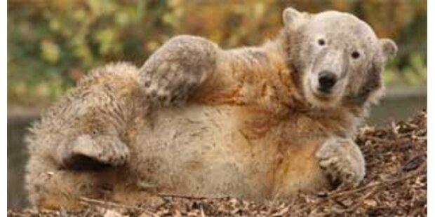 Kuschel-Verbot für Knut