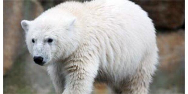 Eisbär als Kuscheltier: