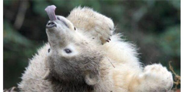 Knut feiert den ersten Geburtstag