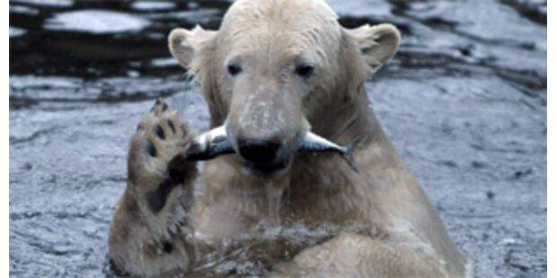 Schwedischer Zoo will Knut